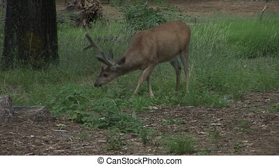 Mule Deer (buck) grazing in the Yosemite valley in Yosemite...