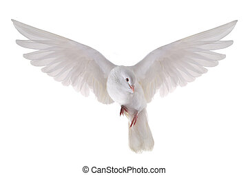 flying dove - free flying white dove isolated on a white...