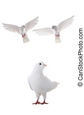 flying dove - two free flying white dove isolated on a white...