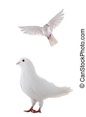 white  dove - two white  dove isolated on a white background