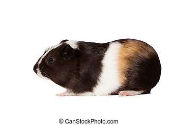 Small colored guinea pig - Macro portrait of small colored...