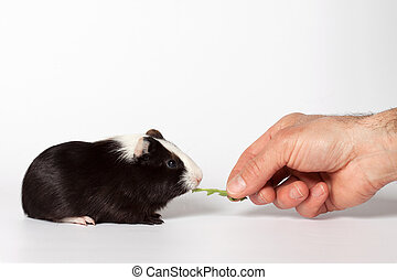 Small colored guinea pig - Hand fed with leaves small...