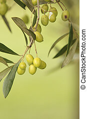 Olive Tree With Branches and Leaves Unplucked