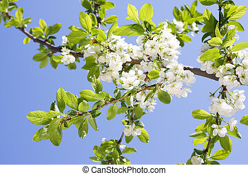 Spring Plum or Cherry leaves and blossom over sunny sky