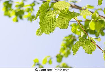Spring Hazel or Elm leaves over sunny sky