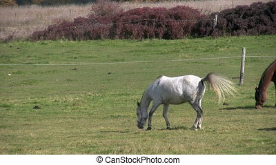 white horse jumps in meadow