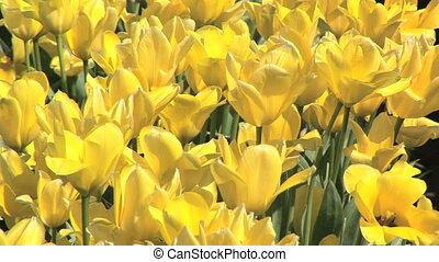 Yellow Tulips - Tulip festival, Woodburn, Oregon