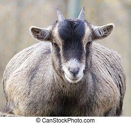 Goat portrait frontal