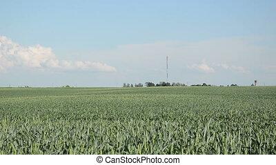 woman corn field
