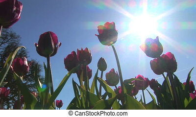 Underside of Tulips - Low angle view of red tulips, Tulip...