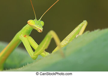 tenodera mantis - closeup of tenodera mantis, nature...