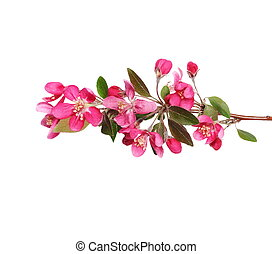 Red apple blossom isolated on white - Red apple blossom ,...