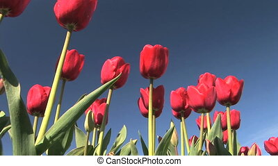 Tulip Field - Tulip festival, Woodburn, Oregon, low angle...