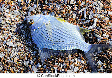 Dead fish - Tilapia - Small dead tilapia fish on the sand -...