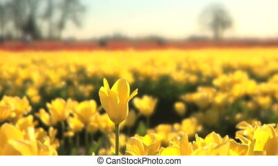 Tulip Field, one flower raised up - One yellow tulip raised...