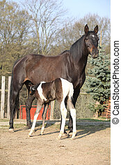 Nice brown mare with its piebald foal in outdoor