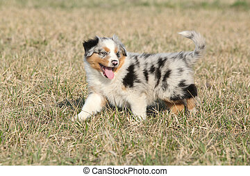 Puppy of Australian Shepherd Dog moving outside in spring