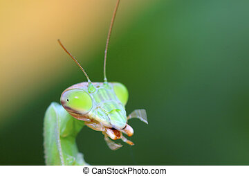 mantis's head in the wild - closeup of mantis's head in the...