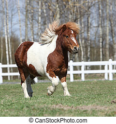 Gorgeous Shetland pony running near the stable