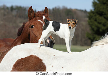 Brave Parson Russell terrier standing on horse back - Brave...