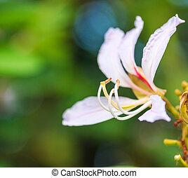 Bauhinia purpurea flower