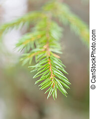 spruce twig in the forest