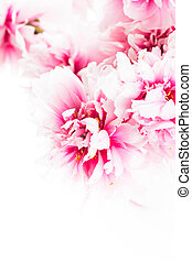 Pink peonies in vase isolated on white