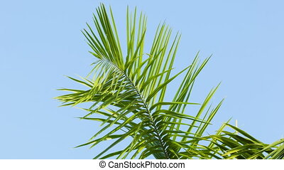 Swaying palm frond on blue sky background - High definition...
