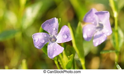 Periwinkle flowers with dew and singing birds