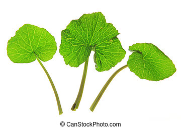 Wasabi Eutrema japonicum three leaves solated in front of...