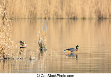 Couple wild mallard ducks - Swimming couple wild mallard...