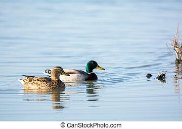 Couple wild mallard ducks - Swimming couple wild mallard...