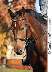Bay horse portrait in autumn - Bay sport horse portrait in...