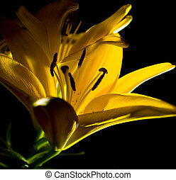 Yellow Easter Lilly Macro