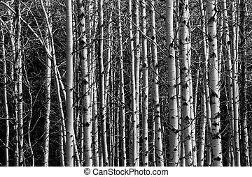 Aspen Forest Tree Trunks Background