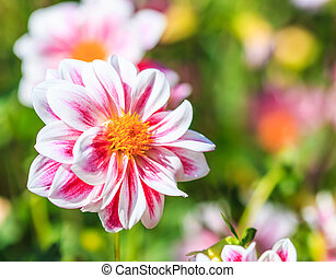 Dahlia flower for background