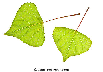Two Poplar leaf isolated on the white