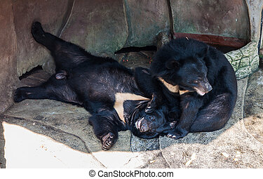 Couple of Asiatic black bear is playing
