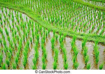 Bali - Jati Luwih Rice Terraces