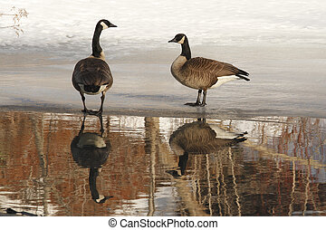 Pair of Canada Geese Standing on Ice with Reflection - Pair...