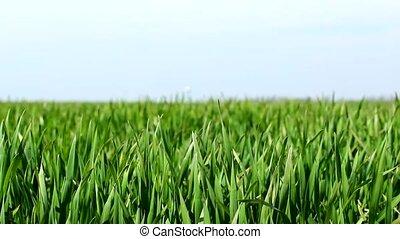 wheat leafs  - wheat leafs green field