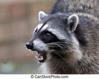 common raccoon - Potrait of a common raccoon