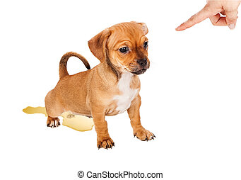 Puppy Training Accident - A small mixed breed puppy making a...