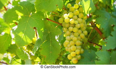Nice bunch of grapes.
