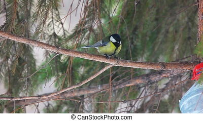 Birds in the park - Titmouse at the pine tree
