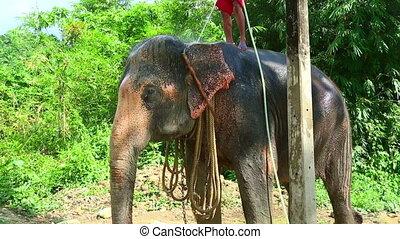 Washing the elephant - Elephant being washed