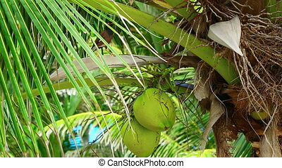 Coconuts - Green cocnuts hanging on the cocnut tree