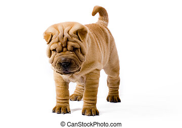 Funny sharpei dog - Funny sharpei puppy isolated on white...