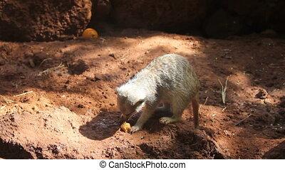 hungry meerkat