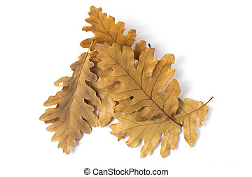 Leaf oak collection on white background - Yellow leaf...